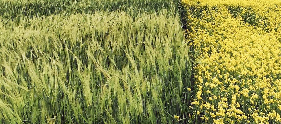 Zwei Felder mit unterschiedlichen Kulturen - wahrscheinlich Raps und eine Getreidesorte. Die Flurstücke liegen direkt nebeneinander und werden nicht durch einen Weg oder Ähnliches getrennt.