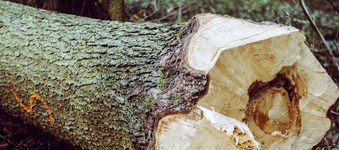 Der untere Teil eines abgesägter Baum liegt auf dem Waldboden. Der Querschnitt des Stammes ist nach vorne ausgerichtet. Der Wald im Hintergrund ist kaum zu sehen.